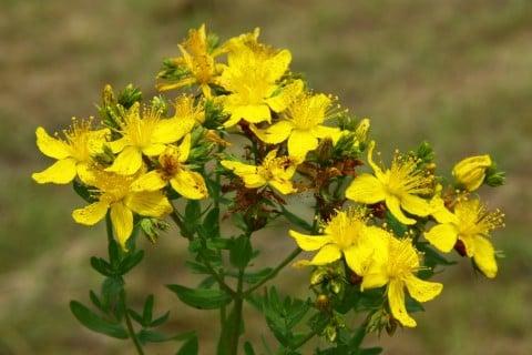 ヒペリカム 地植え 黄色 花