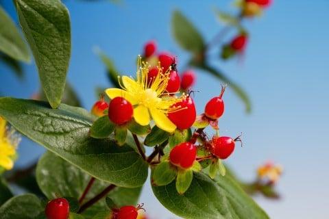 ヒペリカム 黄色 花 実 地植え
