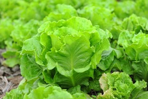 家庭菜園におすすめ冬野菜 リーフレタス