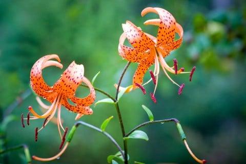 オニユリ 地植え 花 テンガイユリ