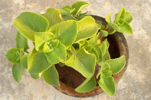 アロマティカス 鉢植え