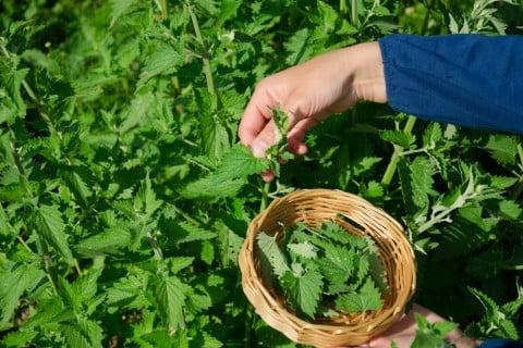 レモンバーム メリッサ 収穫