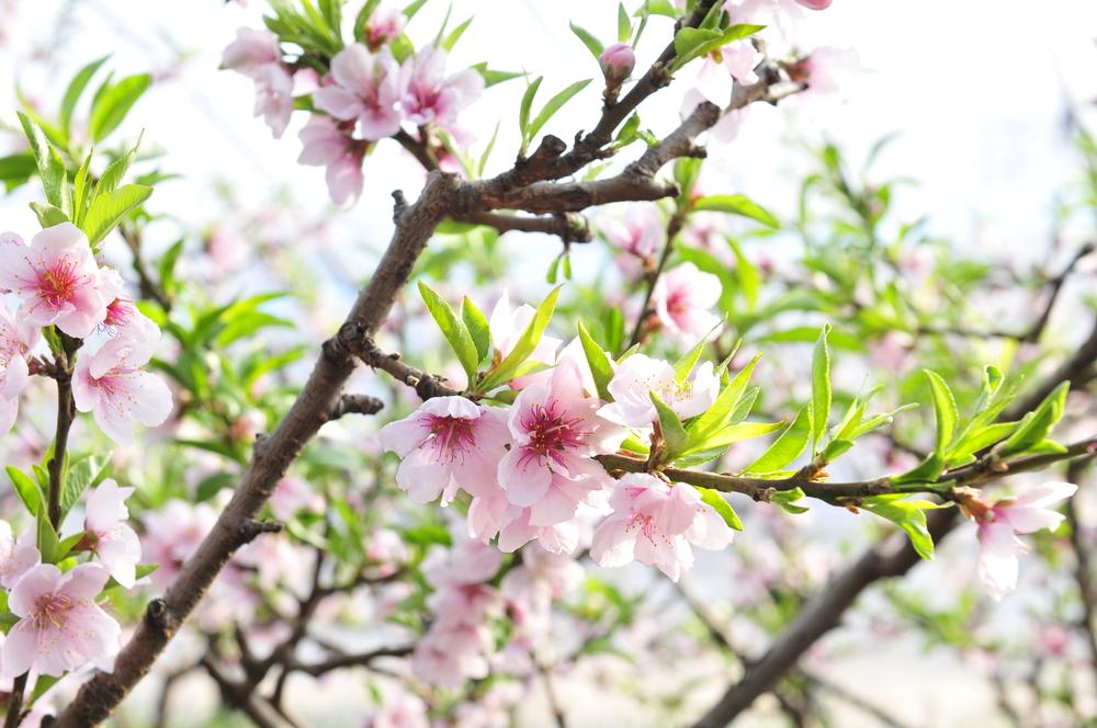 【桃の花が咲く季節は?】開花時期はいつ頃?花言葉とその由来は?