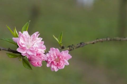 モモ 花 枝 地植え 桃