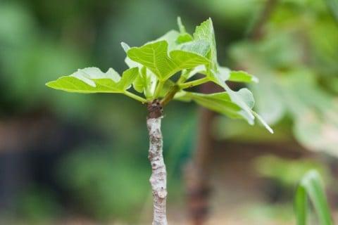 接ぎ木苗 地植え