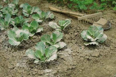 草木灰 使い方 肥料 キャベツ