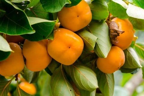 カキ 柿 地植え (2)