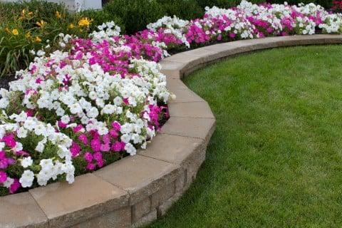 ニチニチソウ 花壇 地植え
