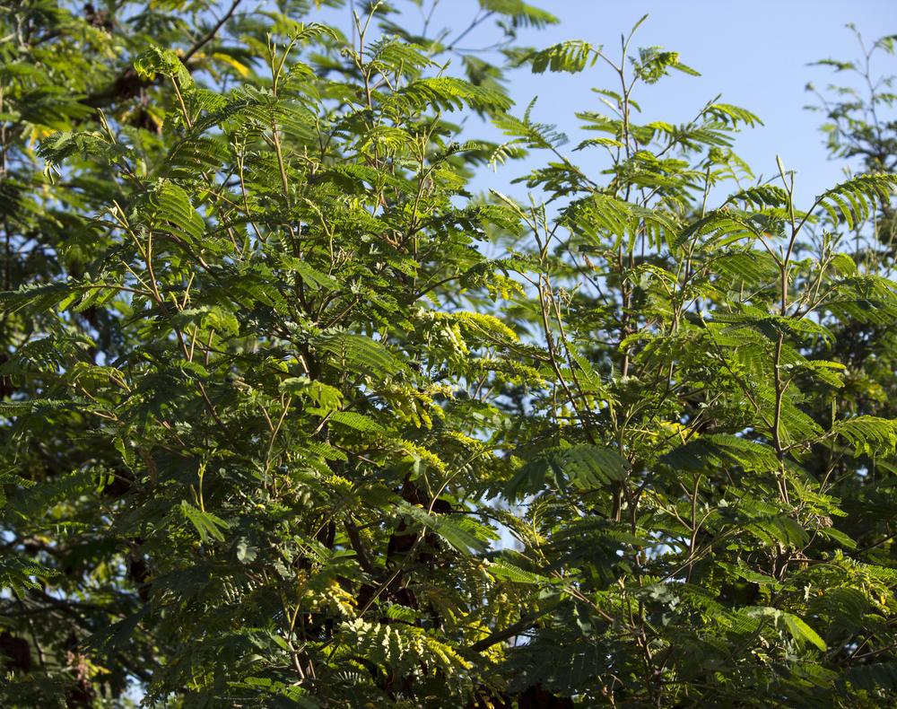 モリシマアカシア 木 葉