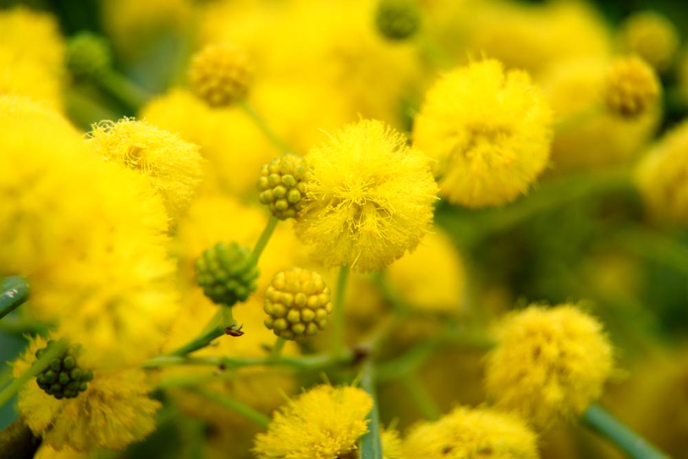 アカシアの花言葉|花の種類や開花時期、見頃の季節は? - HORTI ...