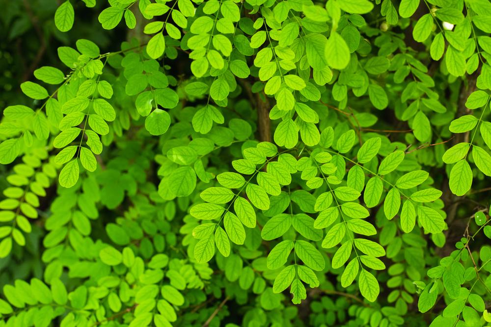 アカシア 葉 木