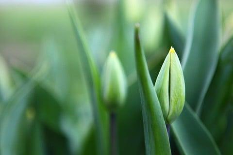 チューリップ 緑
