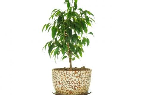 フィカスベンジャミン 化粧鉢 植木鉢