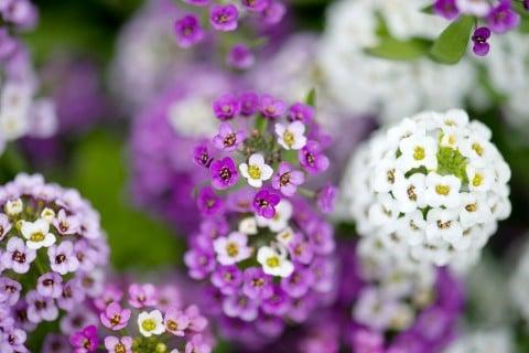 スイートアリッサム 地植え 寄せ植え 紫 白