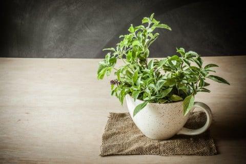 ホーリーバジル 鉢植え