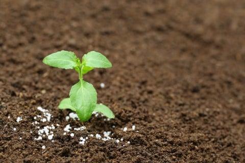ホーリーバジル 地植え 苗