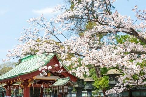 ソメイヨシノ 桜 染井吉野 サクラ 地植え (2)
