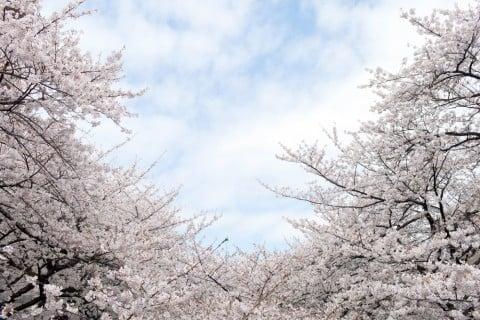 ソメイヨシノ 桜 染井吉野 サクラ 地植え