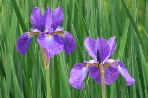 花の中心に網目模様があることから、「綾目(アヤメ)」と名付けられました。アイリス属に分類され、「よい便り」「メッセージ」といったうれしい花言葉も人気の理由