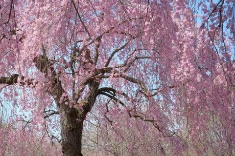枝垂桜 シダレザクラ サクラ 地植え
