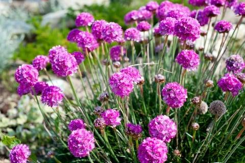 アルメリア 地植え 紫 (2)