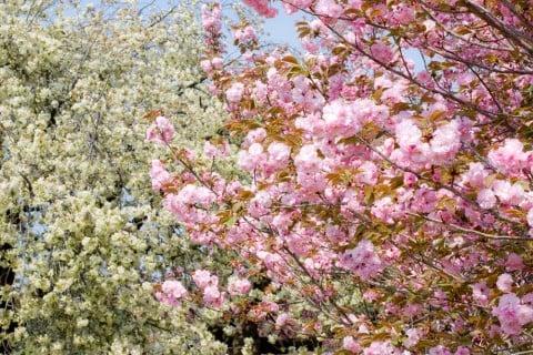 八重桜 ピンク 地植え