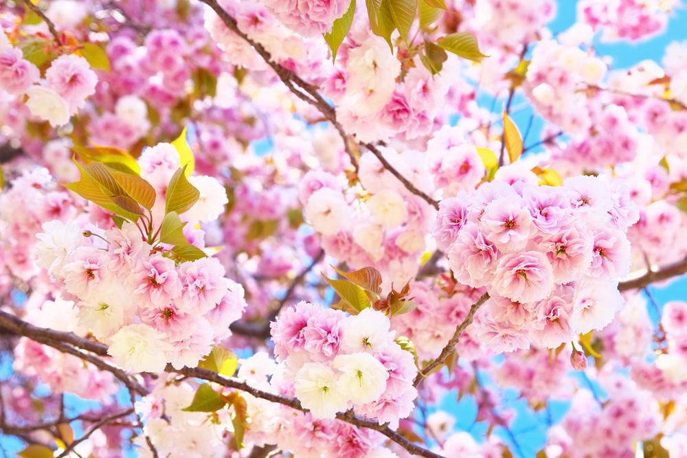 サクラ ヤエザクラ 八重桜 ピンク 地植え
