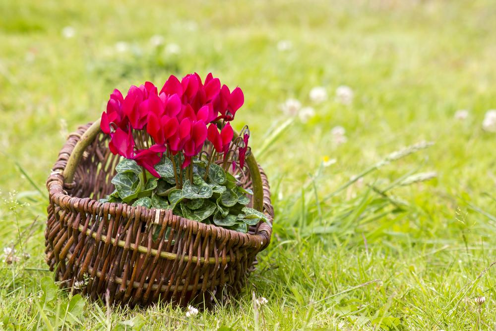 ガーデンシクラメン 鉢植え