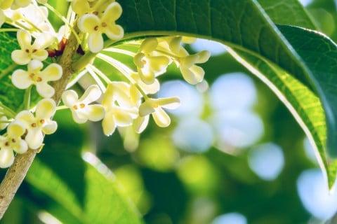 ギンモクセイ 花 地植え