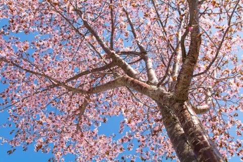 サクラ 山桜 地植え ヤマザクラ