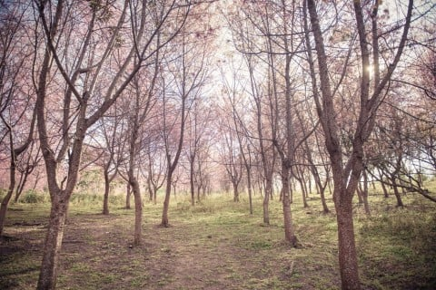 山桜 地植え ヤマザクラ
