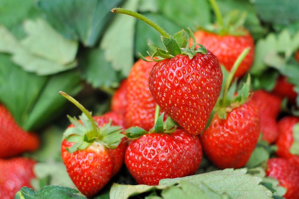 方法 イチゴ の 栽培