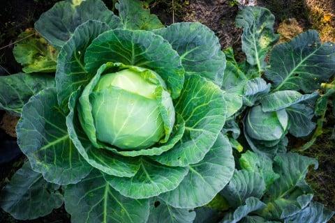 家庭菜園におすすめ冬野菜 キャベツ