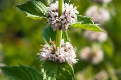 スペアミント 地植え 花
