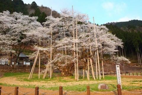 薄墨桜 桜 サクラ サクラ