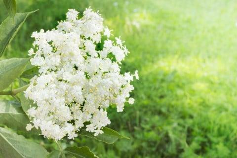 エルダーフラワー 花 地植え