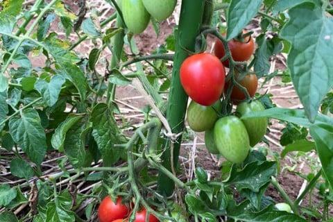 トマト 支柱