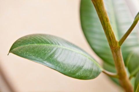 フランスゴムノキ 葉 観葉植物