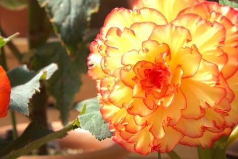 ベゴニア 花 室内 オレンジ