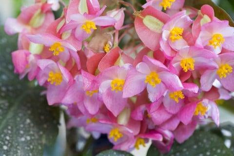 ベゴニア 花 ピンク