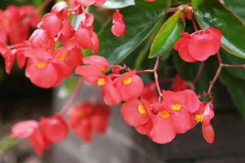 ベゴニア 花 赤
