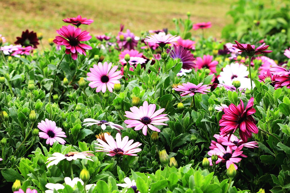 ピンク色のガーベラの花の画像