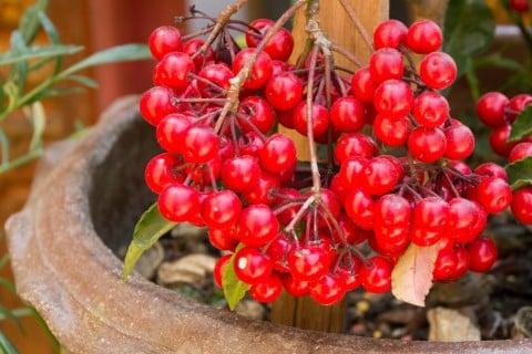 マンリョウ 鉢植え