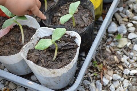カボチャ 苗植え (1)
