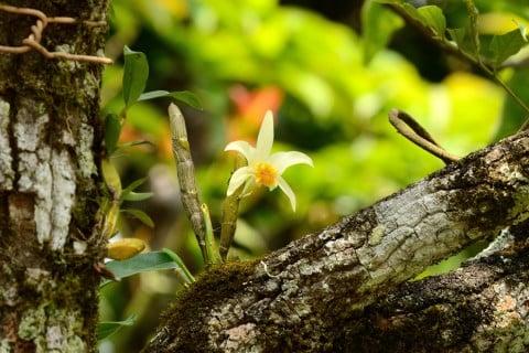 デンドロビウム ラン 森林 着生植物