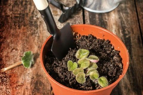 セントポーリア 種まき 鉢植え 苗植え