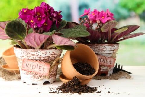 セントポーリア 鉢植え 植え替え