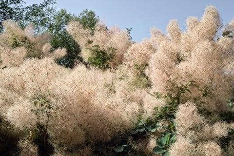 スモークツリー(煙の木)