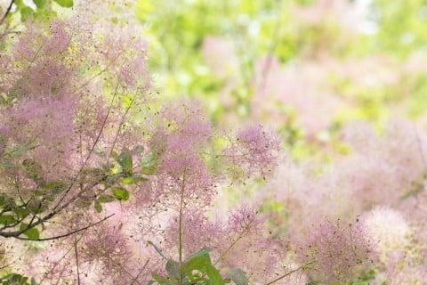 スモークツリー(煙の木) ピンク