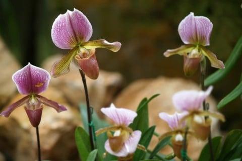 パフィオペディラム 地植え 花